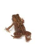 американская americanus жаба bufo стоковое фото