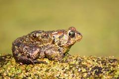 американская americanus жаба bufo Стоковая Фотография RF