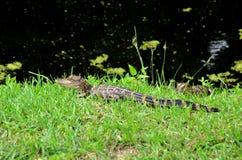 Американские аллигаторы младенца лежа в траве Стоковые Изображения RF