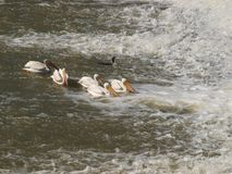 Американские белые пеликаны удят под разрядкой запруды стоковые изображения