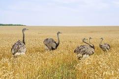 Американские большие rheas Стоковая Фотография