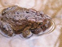 Американские жабы в amplexus Стоковые Фотографии RF