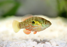 Американские или Florid рыбы аквариума floridae Jordanella Flagfish стоковое изображение