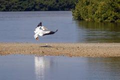 Американские касания белого пеликана вниз стоковые фото