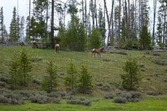 Американские лось или Wapiti в Айдахо Стоковая Фотография