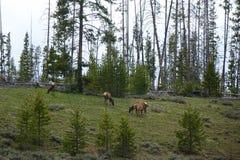 Американские лось или Wapiti в Айдахо Стоковые Изображения RF