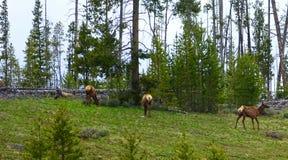 Американские лось или Wapiti в Айдахо Стоковые Фотографии RF