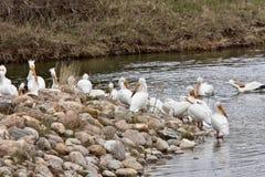 американские пеликаны белые Стоковые Фотографии RF