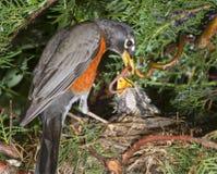 Американские птенецы робина (migratorius Turdus) подавая в гнезде Стоковые Фотографии RF