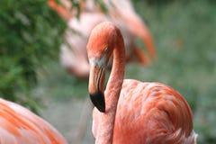 Американские фламинго - Phoenicopterus Ruber Стоковое Изображение