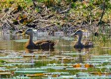 Американские черные утки в цветках Стоковое Изображение