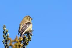 Американские goldfinch и небо Стоковая Фотография RF