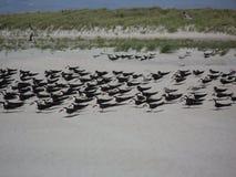 Американские Oystercatchers на Лонг-Айленд Стоковое Изображение RF