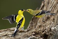 американские tristis goldfinch carduelis Стоковое фото RF