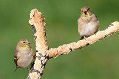 американские tristis goldfinches carduelis Стоковые Фото