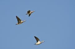 Американские Wigeons летая в голубое небо Стоковая Фотография