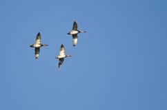 Американские Wigeons летая в голубое небо Стоковое Фото