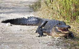 Американский аллигатор пересекает дорогу в национальном парке болотистых низменностей стоковая фотография rf