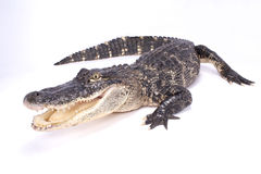 Американский аллигатор, mississippiensis аллигатора Стоковая Фотография