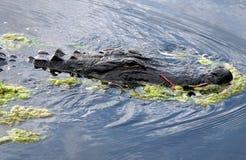 Американский аллигатор (аллигатор Mississippiensis) Стоковые Изображения RF