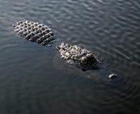 Американский аллигатор (аллигатор Mississippiensis) Стоковые Изображения