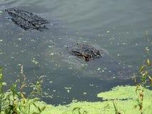 Американский аллигатор (аллигатор Mississippiensis) Стоковые Фотографии RF