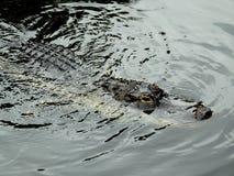 Американский аллигатор (аллигатор Mississippiensis) Стоковое фото RF