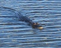 Американский аллигатор (аллигатор Mississippiensis) Стоковая Фотография RF