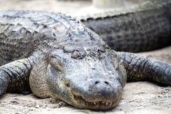 Американский аллигатор - аллигатор Mississippiensis Стоковое Изображение