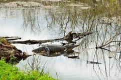 Американский аллигатор в болоте Стоковая Фотография RF