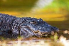 Американский аллигатор в воде Стоковые Фото