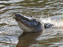 Американский аллигатор в заболоченном месте Флориды Стоковое фото RF