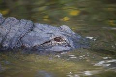 Американский аллигатор в заболоченном месте Флориды Стоковое Изображение