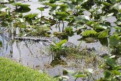 Американский аллигатор в болотистых низменностях национальном парке, Флориде Стоковые Изображения RF