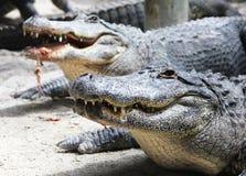 Американский аллигатор в болотистых низменностях национальном парке, Флориде Стоковое Фото
