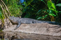 Американский аллигатор в Loro Parque, Тенерифе, Канарских островах Стоковая Фотография RF