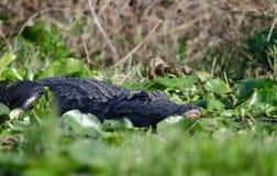Американский аллигатор греясь, охраняемая природная территория соотечественника болота Okefenokee Стоковые Фотографии RF