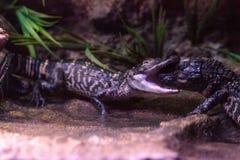 Американский аллигатор младенца также вызвал mississippiensis Аллигатора Стоковое Изображение RF
