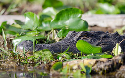 Американский аллигатор, охраняемая природная территория соотечественника болота Okefenokee Стоковое Изображение
