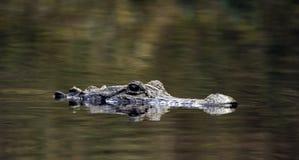 Американский аллигатор, охраняемая природная территория соотечественника болота Okefenokee Стоковое Фото