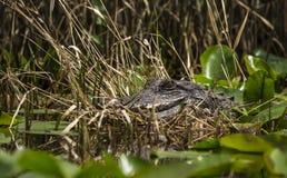 Американский аллигатор, охраняемая природная территория соотечественника болота Okefenokee Стоковая Фотография RF