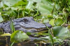 Американский аллигатор, охраняемая природная территория соотечественника болота Okefenokee Стоковое фото RF
