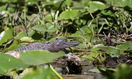 Американский аллигатор, охраняемая природная территория соотечественника болота Okefenokee Стоковые Изображения RF