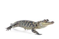 Американский аллигатор Стоковые Изображения RF