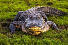 Американский аллигатор Стоковое фото RF