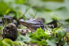 Американский аллигатор Juvenlie, охраняемая природная территория соотечественника болота Okefenokee Стоковая Фотография