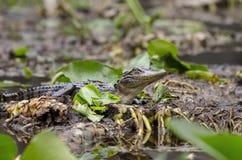 Американский аллигатор Juvenlie, охраняемая природная территория соотечественника болота Okefenokee Стоковое фото RF