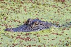 Американский аллигатор (mississippiensis аллигатора), пряча в болоте покрытом с duckweed Стоковая Фотография RF