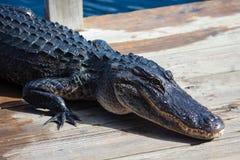 Американский аллигатор a mississippiensis Стоковое Изображение RF