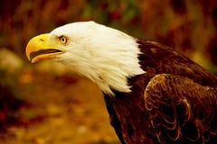 Американский белоголовый орлан в эквадоре стоковые фото